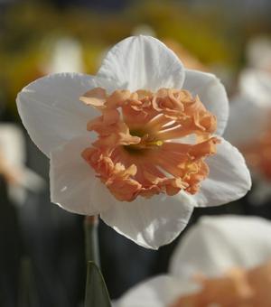 Narcissus Hungarian Rhapsody