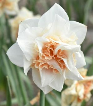 Narcissus Replete
