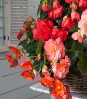 Begonia Odorosa Sweet Pink