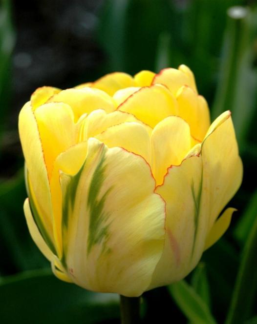 Tulpe Akebono