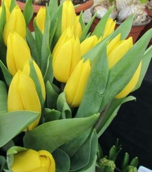 Tulip Yellow Flight