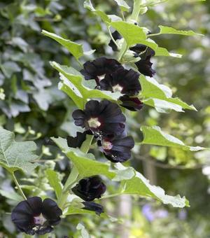 Alcea Black Knight