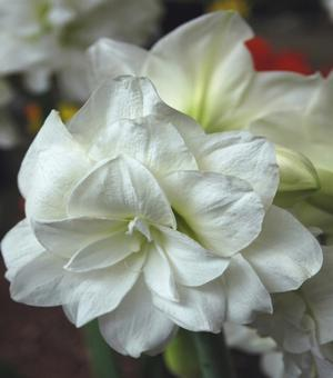 Amaryllis Marilyn