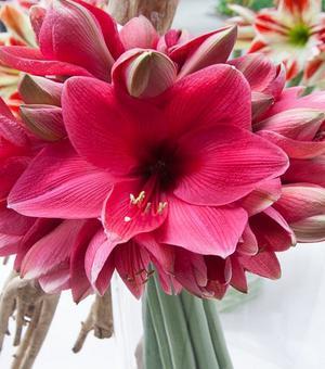 Amaryllis Adele mit einer Zink-Blumentopf