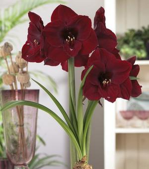 Amaryllis Red Pearl mit einer Zink-Blumentopf