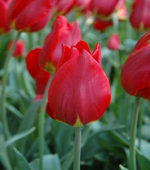 Tulpe Red Revival