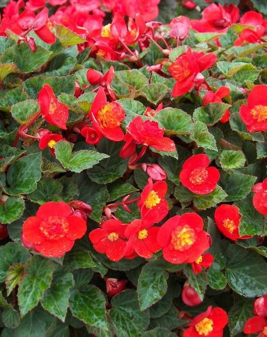 Begonie Multiflora Flamboyant
