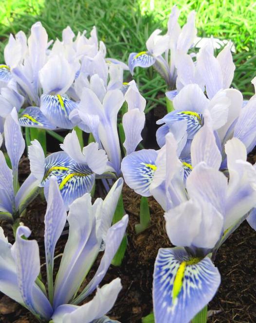 Iris Sheila Ann Germany