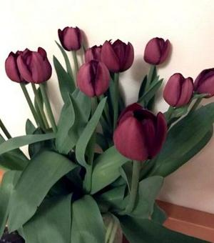 Tulip Bigi Brasa