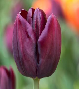 Tulpe Black Jack