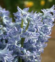 Hyazinthe Blue Festival