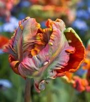 Tulpe Blumex Favourite ®