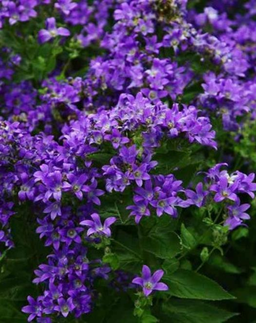 Campanula lactifolia Prichard's Variety