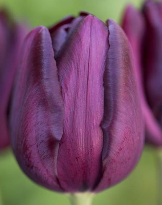 Tulpe Cafe Noir ®