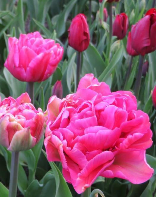 Tulpe Chato