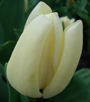Tulpe Francoise