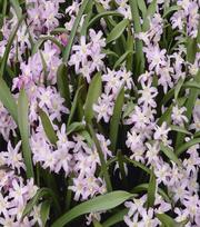 Chionodoxa Luciliae Rose Queen