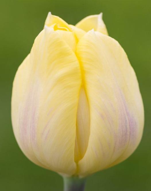 Tulpe Cream Flag
