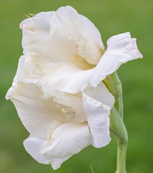 Gladiole Cream Perfection