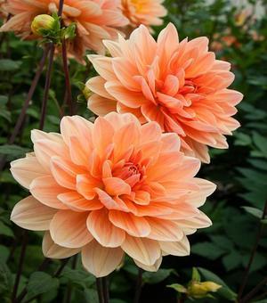 Dahlia Apricot Desire