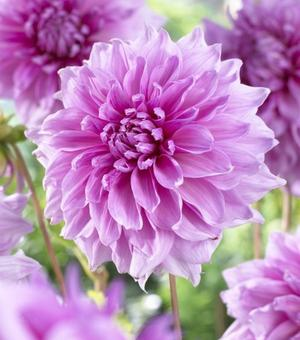 Dahlia Lavender Perfection