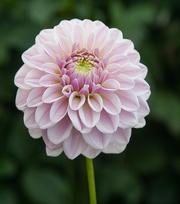 Dahlia Pink Silk