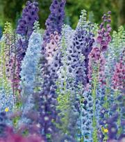 Delphinium Magic Fountains