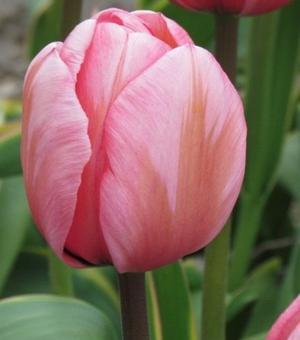 Tulip Design Impression