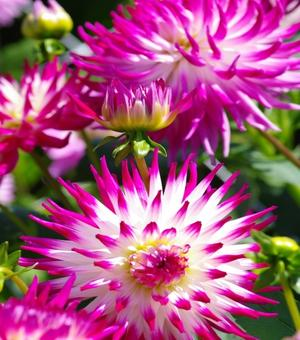 Dahlie Dutch Explosion