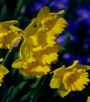 Narcissus Dutch Master