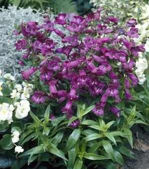 Penstemon Midnight