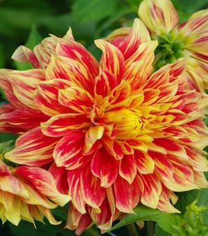 Pictured Dahlia Sugar Diamond
