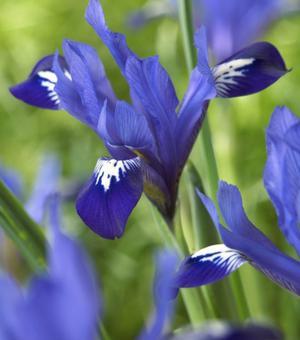Iris Reticulata Fabiola