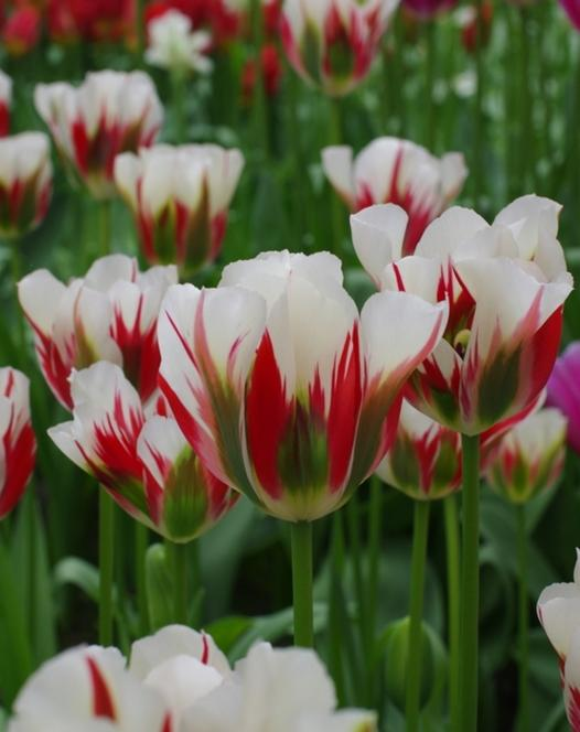 Tulpe Flaming Spring Green