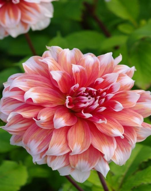 "Pictured <a href=""/babylon-rose.html"">Dahlia Babylon Rose</a>"
