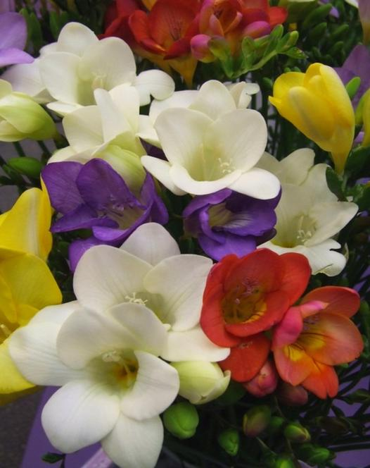 Freesia Single Mixture