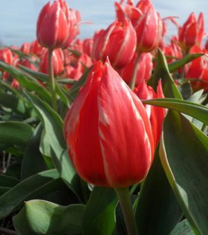Tulip Friendly Fire