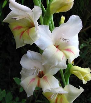 Gladiole Halley