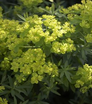 Euphorbia  Walenburg's Glorie