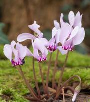 Cylamen Hederifolium (Neapolitanum)