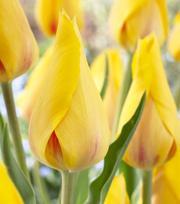 Tulip Hocus Pocus