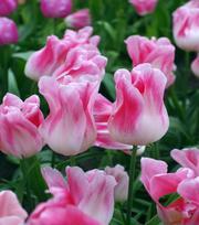 Tulpe Holland Chic