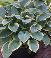 Hosta Regal Splendour