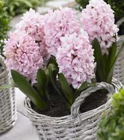 Hyacinth Apricot Passion