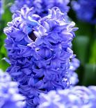Hyazinthe Delft Blue
