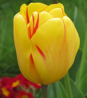 Tulpe Olympic Flame