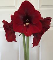 Amaryllis Royal Velvet