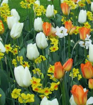Tulip Purissima (White Emperor)