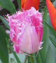 Tulpe Huis Ten Bosch
