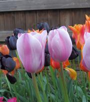 Tulpe Mistress Grey